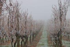 Bevroren wijngaard stock fotografie