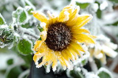 Bevroren zonnebloem Royalty-vrije Stock Foto