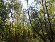 Bevuxen höstskog, sunlighted till och med solen Fotografering för Bildbyråer