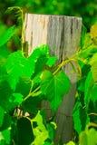 bevuxen stolpe för staketmurgröna Arkivbild