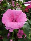 Bevuxet med blommamalvan Royaltyfria Bilder