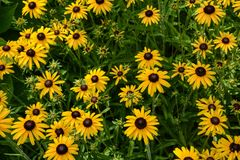 A Bevy of Black-eyed Susans. A view of a garden full of Black-eyed Susans on a summer day stock photo