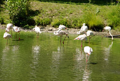 Bevy of Flamingoes. Bevy of White Flamingoes in Lake stock photography