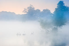 Bevy herd of swans on misty foggy Autumn Fall lake. Familyof swans swim across misty foggy Autumn Fall lake royalty free stock photo