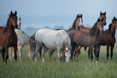 Bevy of horses on the meadow Royalty Free Stock Photography