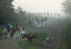 Bevy of horses running at the rular area Stock Image