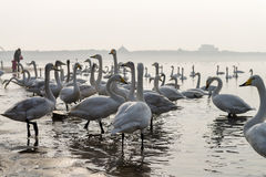 A bevy of mute swans. Group of swans at lake during migratory season stock images