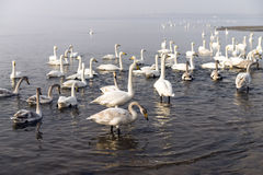 A bevy of mute swans. Group of swans at lake during migratory season royalty free stock image