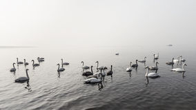 A bevy of mute swans. Group of swans at lake during migratory season stock photography