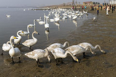 A bevy of mute swans. Group of swans at lake during migratory season royalty free stock images