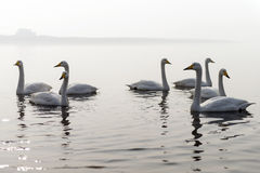 A bevy of mute swans. Group of swans at lake during migratory season stock image