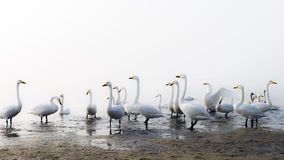 A bevy of mute swans. High key effect. Group of swans at shore of lake during migratory season royalty free stock image