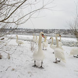 A bevy of swans. One stands out. Selective focus. A bevy of swans. Flock of grebes, naked tree branches, frozen river and riverbanks covered with snow visible royalty free stock photos