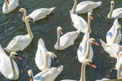 Bevy of Swans. Swimming Close Together on thr River royalty free stock images