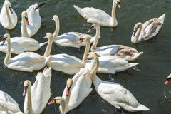 Bevy of Swans. Swimming Close Together on thr River stock image