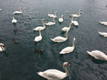 A bevy of swans. In the water royalty free stock photography