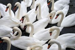 A bevy of swans. Royalty Free Stock Images