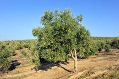 Bewässerte Ernten, Olivenhaine, Andalusien, Spanien Stockfotos