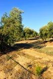 Bewässerte Ernten, Olivenhaine, Andalusien, Spanien Lizenzfreies Stockbild