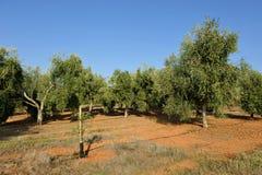 Bewässerte Olivenhaine, Andalusien, Spanien Stockbilder