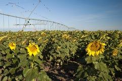 Bewässertes Sonnenblumefeld stockfotos