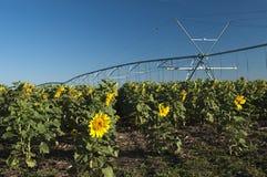 Bewässertes Sonnenblumefeld lizenzfreies stockfoto