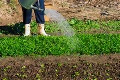 Bewässerung des Gemüsegartens Stockfoto