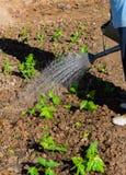 Bewässerung des Gemüsegartens Stockbild