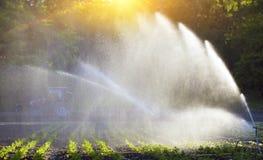 Bewässerung des Gemüses in den Sonnenuntergang Lizenzfreie Stockfotografie