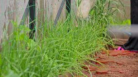 Bewässerung des Rasens mit einem Schlauch stock video