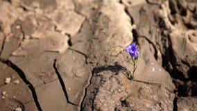 Bewässerung einen violetten Zierpflanzenbau auf getrocknet herauf Boden stock video