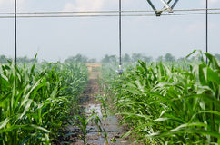 Bewässerung einer Ernte von Mais Stockfotografie