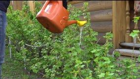 Bewässerung eines Busches von einer Gießkanne stock video footage