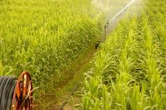 Bewässerung eines Mais-Feldes Stockbild