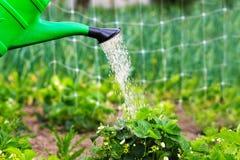 Bewässerungsanlagen, Erdbeeren im Garten Frühling draußen lizenzfreies stockbild