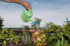 Bewässerungsblumen der älteren Frau Stockbild