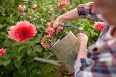 Bewässerungsblumen der älteren Frau am Sommergarten Stockfoto