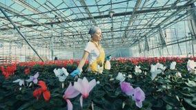 Bewässerungsblumen einer Gewächshausarbeitskraft in den Töpfen, unter Verwendung einer Sprühflasche stock video footage