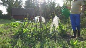 Bewässerungsbohnen des Mannes im Garten Zufällige Arbeit im Garten 4K stock footage