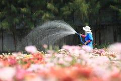 Bewässerungschrysanthemenanlagen des Gärtners im Hochsommer, Thailand lizenzfreie stockbilder