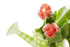 Bewässerungsdose mit Tulpen Lizenzfreies Stockbild