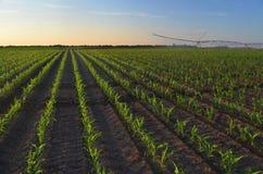 Bewässerungsmaisfeld des Bewässerungssystems Lizenzfreies Stockfoto