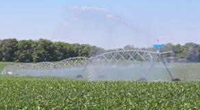 Bewässerungsmaispflanzen Stockfoto