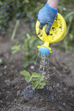 Bewässerungssämlinge der Frau von frischen Erdbeeren auf dem Feld Stockbild