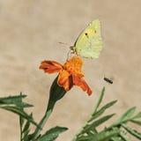 Bewölkter gelber Schmetterling auf Ringelblumen-Blume lizenzfreies stockbild