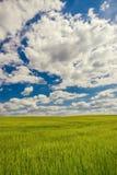 Bewölkter Himmel über grünem Kornfeld Stockbilder
