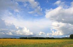 Bewölkter Himmel und Sonnenblumen. Stockfotografie