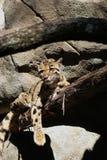 Bewölkter Leopard Stockbilder