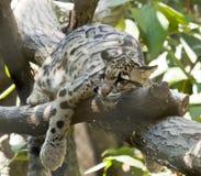 Bewölkter Leopard Stockfoto