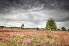 Bewölkter regnerischer Himmel über Wiese mit blühender Heide lizenzfreie stockbilder